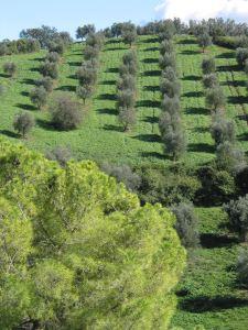 1 Olivi